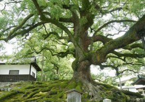 Camphor Tree Image