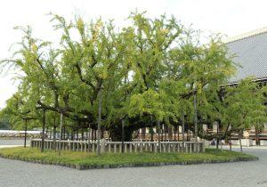 Nishi Honganji Ginko Tree Image