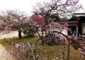 Plum trees in Kitano Tenmangu